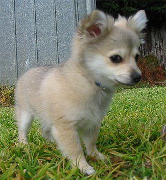 Pomeranian and Chihuahua Mix
