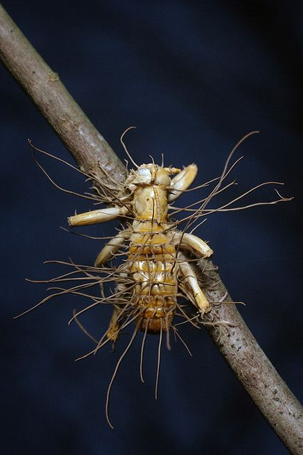This Carolina leaf-roller (Camptonotus carolinensis) has succumbed to an infection by a species of Cordyceps, a genus of entomopathogenic fungi.  Cordyceps are well-known for inducing changes in insect behaviour, making them climb plants before they die. When the fruiting bodies burst forth from the insect, this high position helps spread the fungal spores to new victims.: Dead Fungus, Fruit Body, Fungus Cordycep, Freaky Natural, The Body, Real Monstro, Flora Fungi, Bugs Bugs Bugs, Entomopathogen Fungi