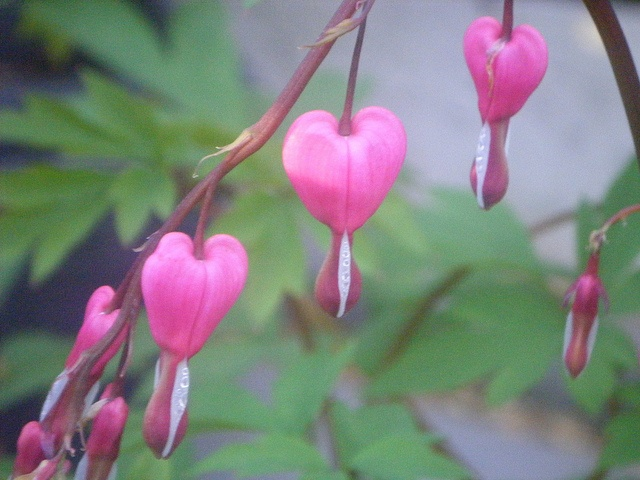 Bleeding Hearts Spring 2011 by CyndiJones1970, via Flickr