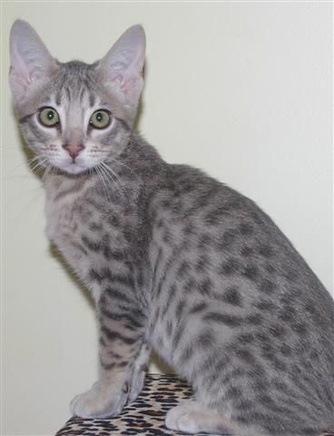 Silver (used to be SilverPaw)- Female- Forced to be mates with Ash- (Rebel}{Free)