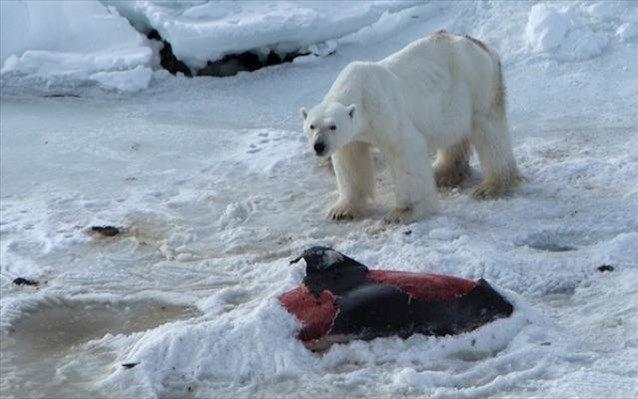 Η κλιματική αλλαγή ωθεί τις πολικές αρκούδες να κυνηγούν δελφίνια | naftemporiki.gr