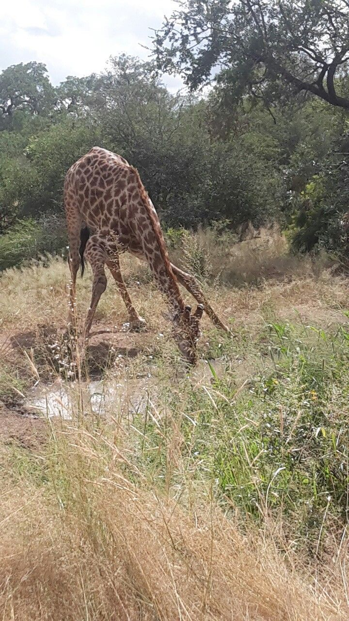 We saw this beautiful giraffe drinking water