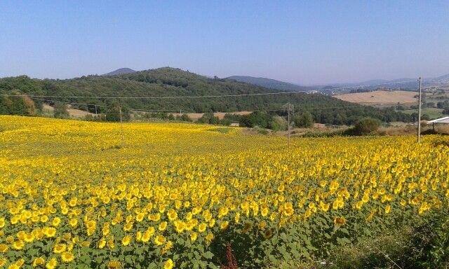 I campi di girasole #SanGemini #Umbria #sunflowers
