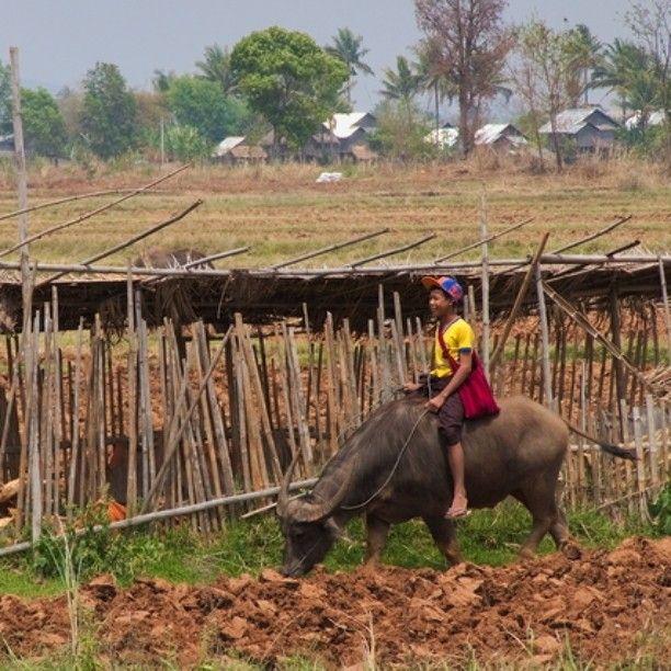 Apparemment les buffles aussi se montent !  #Myanmar #Kalaw #inlelake #trekking #buffaloride #buffalo