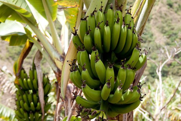 Products (Bananas)- The economy is dependent on manufacturing and agricultural exports   http://www.everyculture.com/Bo-Co/Colombia.html