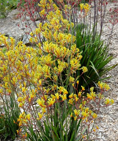 Kangaroo paw 'bush pioneer' cultivar. Does well in heavy soil. Bird Attracting, Height to 1.6m, Width to 1m. Long lived. Prolific flowering habit.
