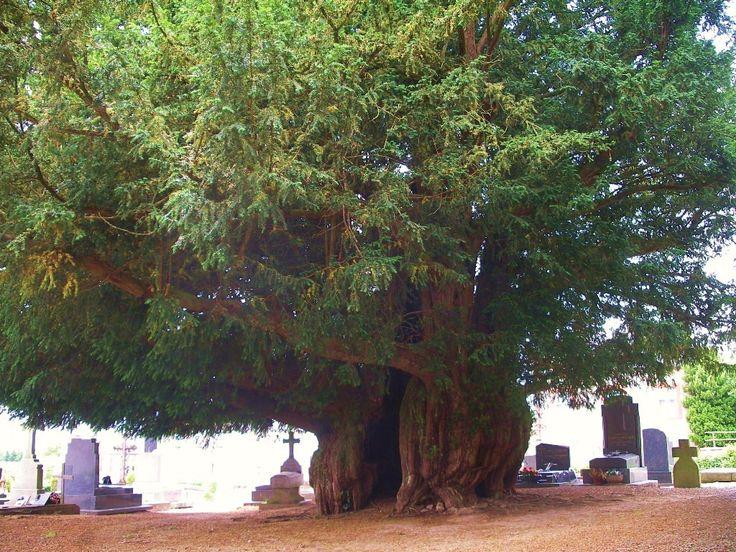 Taxus baccata.  Estry Yew, Normandy, around 1,600 years old.  photo by Roi.dagobert.  Wikimedia commons.