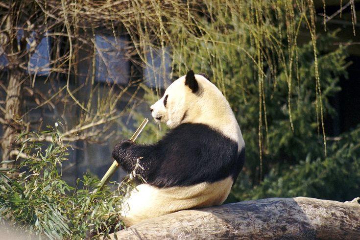 Les pandas géants sont des carnivores ou presque