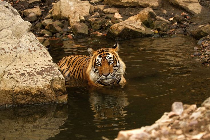 Ranthambhore wildlife sanctuary is known for its Bengal tigers, and is one of the best places in India to see these animals in their natural jungle habitat. Tigers can be easily spotted even in the daytime. The best times for tiger sightings at Ranthambho