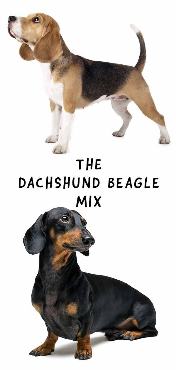 Dachshund Beagle Mix Breed Information A Guide To The Doxle Dog