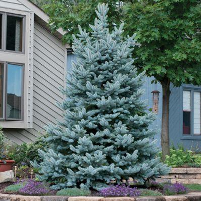 25 Best Blue Spruce Ideas On Pinterest Blue Spruce Tree