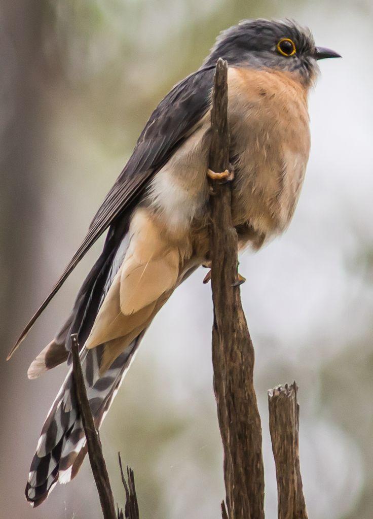Fan-tailed Cuckoo - Upper Hunter