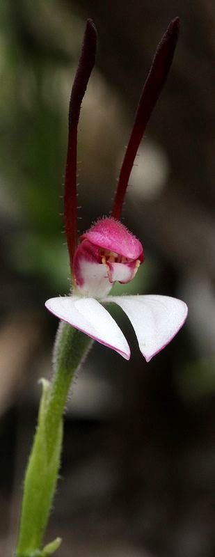 Rabbit Orchid (Leptoceros): Native to the southern states of Australia. Image credit unknown. #Orchid