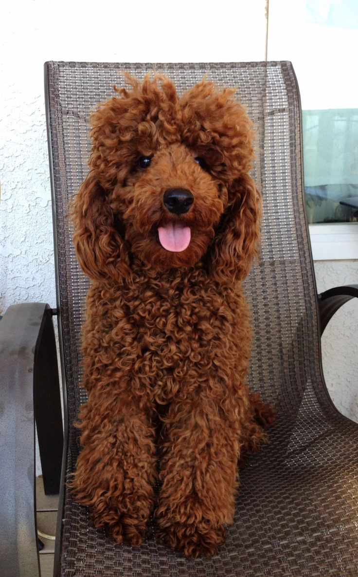 Not Groomed Red Mario Red Miniature Poodles Poodle