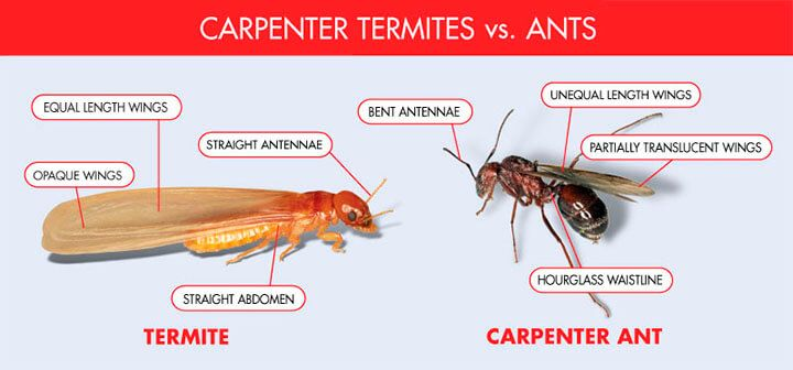 termites fly