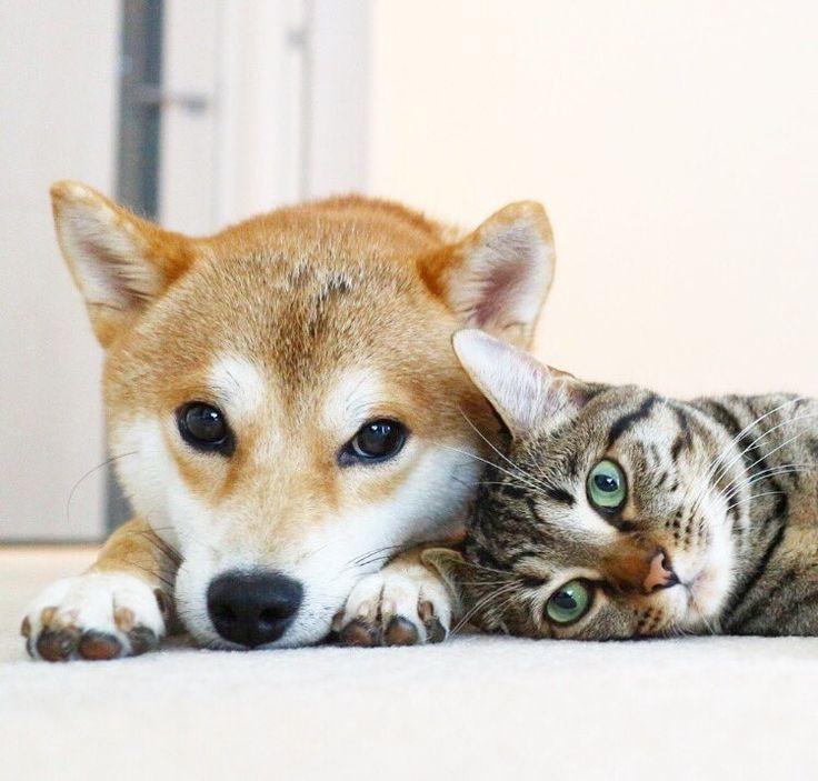 @sornram9254/Shiba Inu (柴犬)