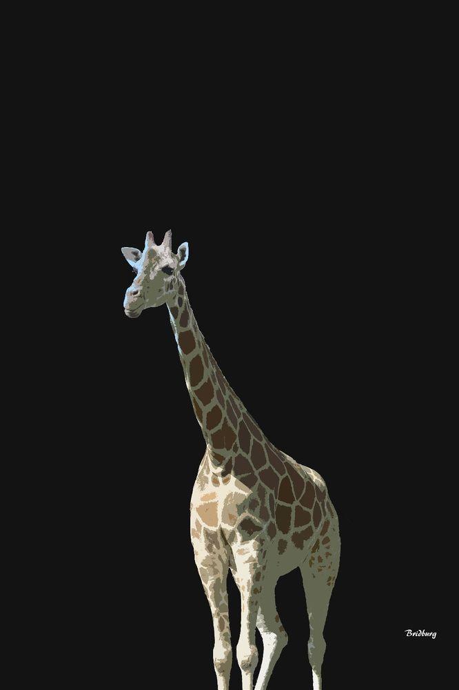 david bridburg,music notes 32,kareem,giraffe,giraffa,african even-toed ungulate mammal,tallest living terrestrial animals,largest ruminants,giraffa camelopardalis,southern giraffe,giraffa tippelskirchi,masai giraffa,giraffa reticulata,reticulated giraffa,giraffa camelopardalis,northern giraffe,horn-like ossicones,giraffidae,savannahs inhabitant,animalia,chordata,synapsida,mammalia,artiodactyla