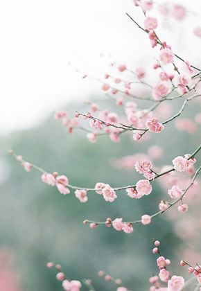 The one flower I love.... Cherry Blossoms.