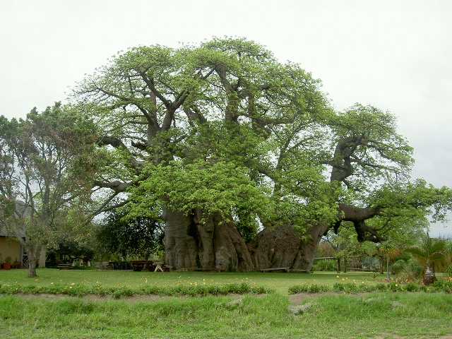 1000 Images About Trees On Pinterest South Africa