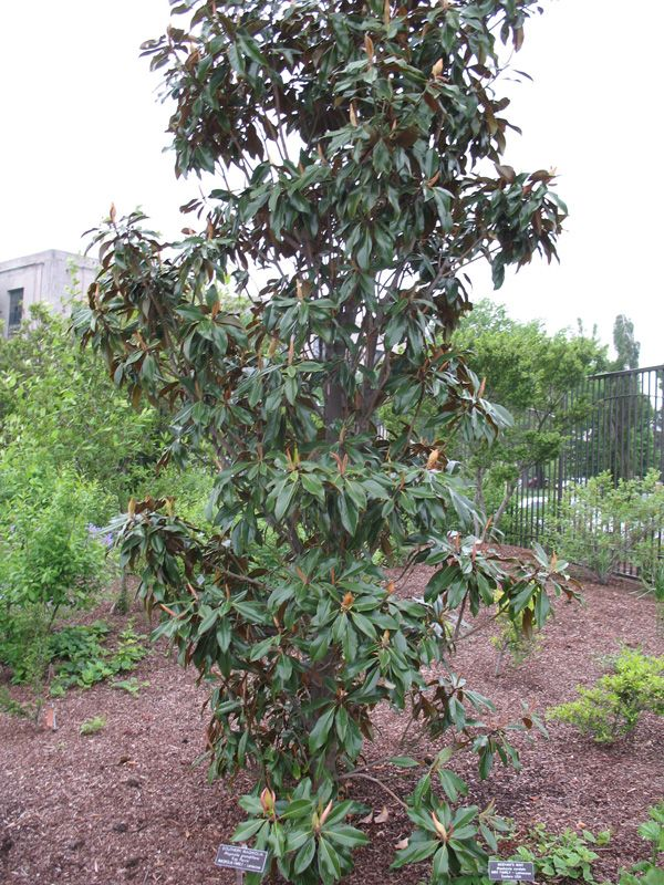 Magnolia Grandiflora Kay Parris Magnolia Grandiflora Kay Parris Onlineplantguide Com 16210 Magnolia Grandiflora Southern Magnolia Magnolia