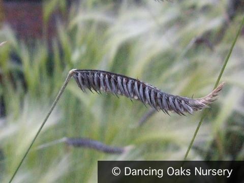 Grasses - Harpochloa Falx 'Compact Black', Black Caterpillar Grass