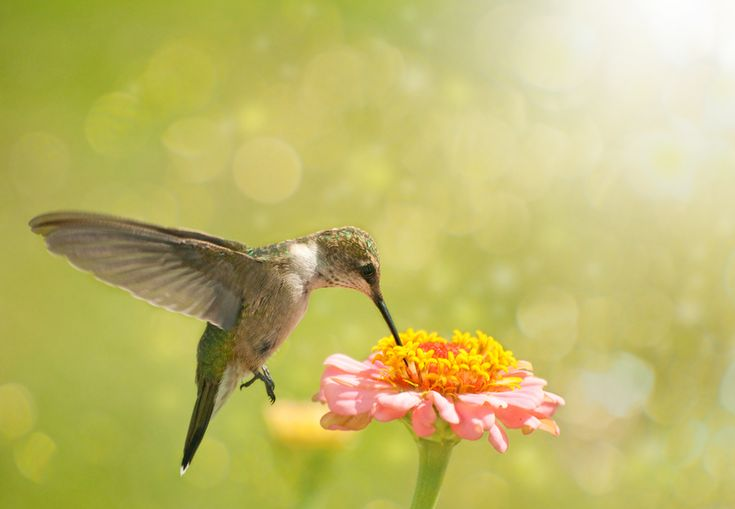 Homemade hummingbird food why a 13 sugartowater ratio