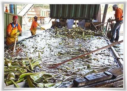First Leaf Washing of Aloe barbadensis Miller Plant #StabilizedAloeVera #AloeVera #ForeverLivingProducts