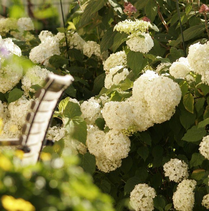 Die 25+ Besten Ideen Zu Hortensie Schneiden Auf Pinterest ... Hortensien Pflege Lernen Sie Wie Sie Ihre Zimmerpflanzen Pfoegen