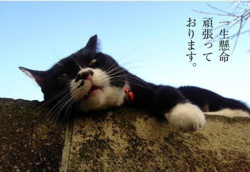 鉄男家の猫ソックスポストカード 一生懸命