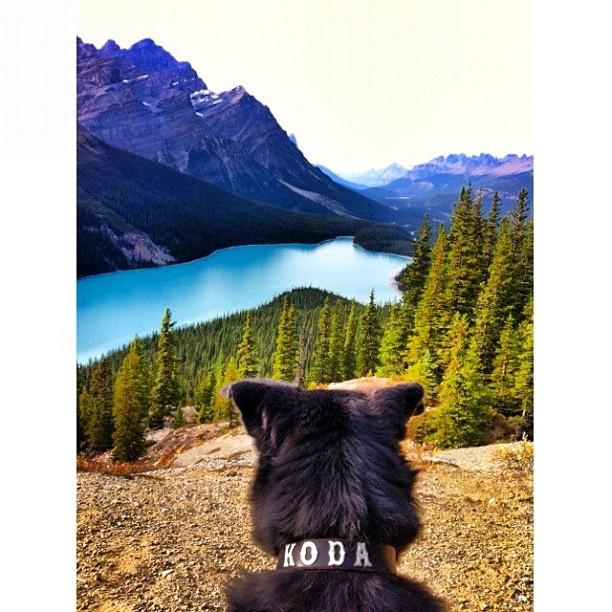 Man's best friend just found a new love... Koda & Peyto lake (via ixnay_on_the_hombre). #ExploreCanada