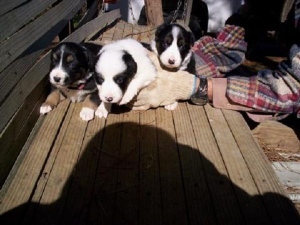 border collie puppies for sale in alabama | Zoe Fans Blog
