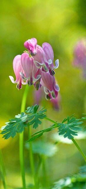 Spring Bleeding Hearts #floral #bokeh #photography......