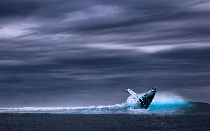 Download wallpapers blue whale, 4k, Balaenoptera musculus, ocean, wildlife, whales, Mysticeti
