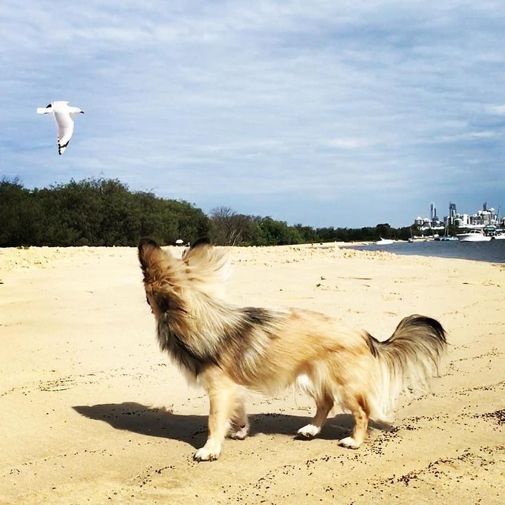 I Wanna Fly Loki #chihuahua .@loki_the_chihuahua_  . 鳥さんにこんにちはするロキ空を自由に飛びたいなぁって思っているのかな  #regram#わんこ#チワワ#elegantdog . 記事に登場してくれるワンコを募集#inulog をつけて投稿してね 美犬写真は#wooftodayFOLLOW @inulog.jp