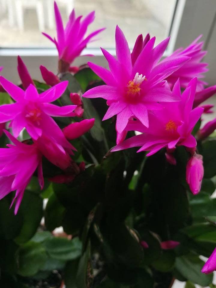Húsvéti és karácsonyi kaktusz ugyanaz? Vagy van különbség? http://balkonada.cafeblog.hu/2017/04/15/husveti-kaktusz-viragzasanak-rejtelye/