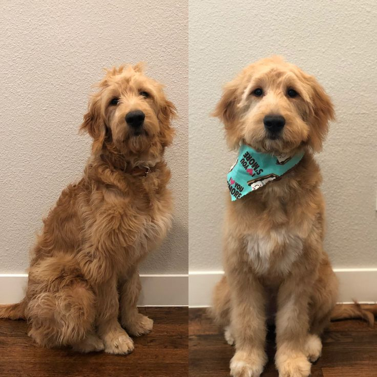 Before and after 6 month old goldendoodles first haircut