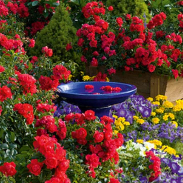 Beautiful roses,roses everywhere