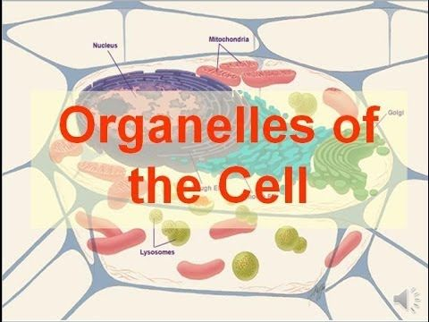 Cell Organelles And Their Function Animation (BOTH 3D AND MICROSCOPIC VIEWS ) - YouTube