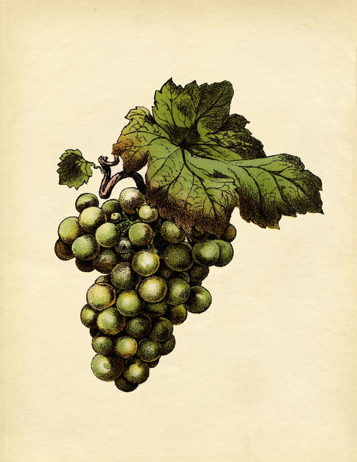 36 best Grape Art images on Pinterest | Grape vines, Vines ...