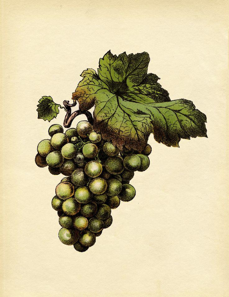 36 best Grape Art images on Pinterest | Grape vines, Vines ...