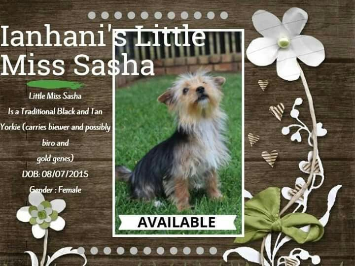 Traditional Black and Tan Yorkshire Terrier Female Available