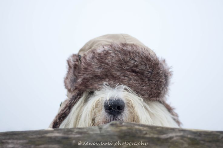 brr it's cold outside - old English sheepdog Sarah