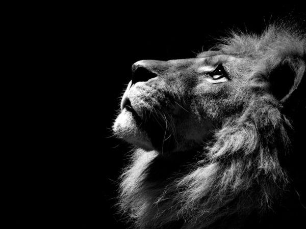 schwarz-weißes Foto von einem stolzen Löwen