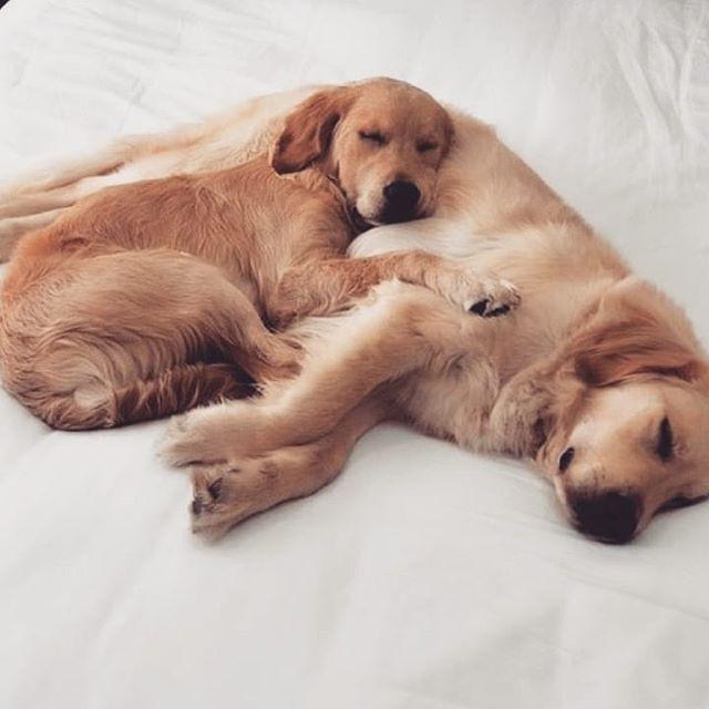 #dog #puppiesofinstagram #goldenretriever #dogs #puppy