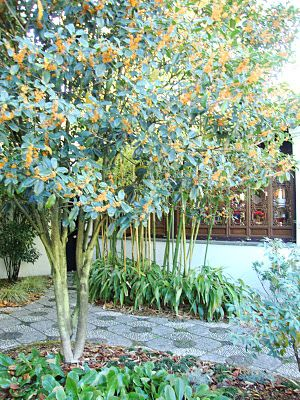 Osmanthus fragrans auranticus - sweetly fragrant orange blossoms, here trained as a small tree