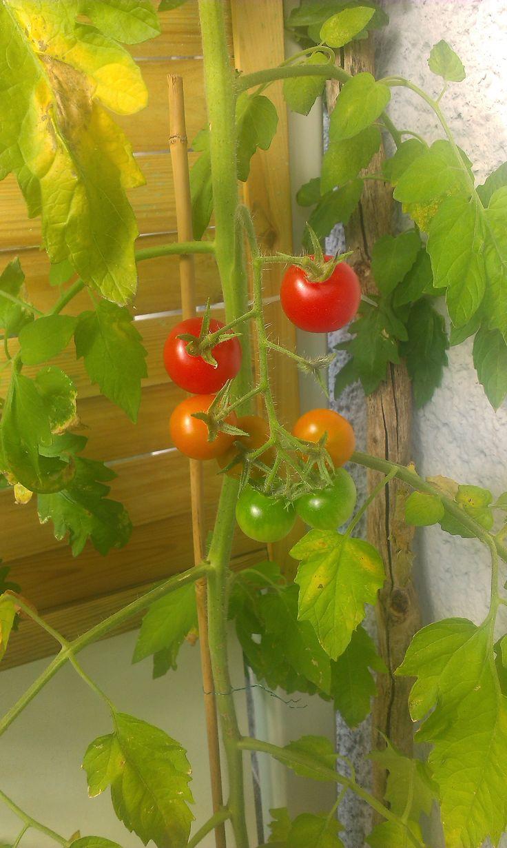 Balkon Tomaten August