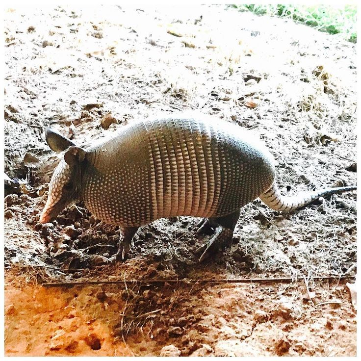 """I post these pictures and everyone says """"leprosy!"""" I don't care it's cool as hell. #armadillo #texasroadtrip #gram"""