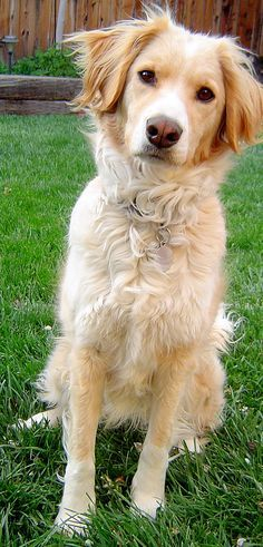 golden retriever cross collie