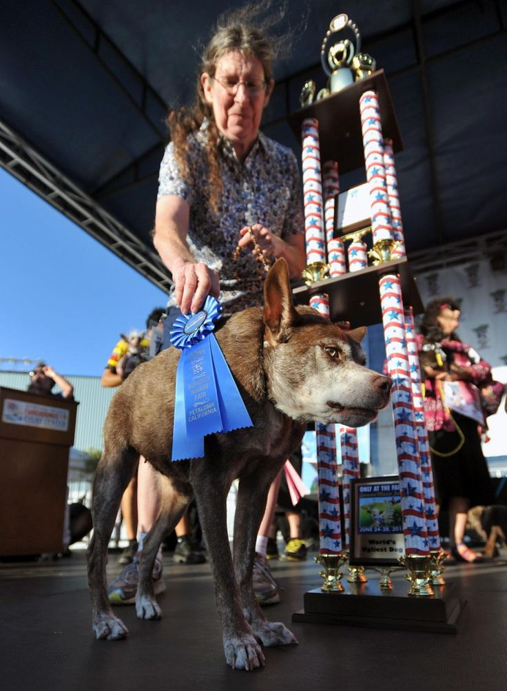 Quasi Modo is presented with a first place prize and trophy after winning the World's Ugliest Dog Competition in Petaluma, California on June 26, 2015.