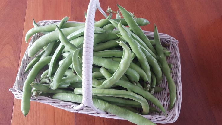First harvest of broad beans